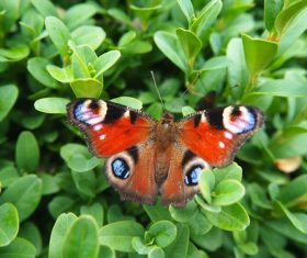 Peacock butterfly in the grass Stock Photo 02