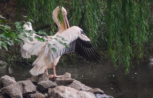 Pelican in the lake Stock Photo 03