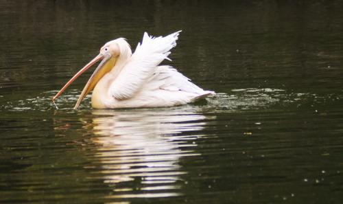 Pelican in the lake Stock Photo 05