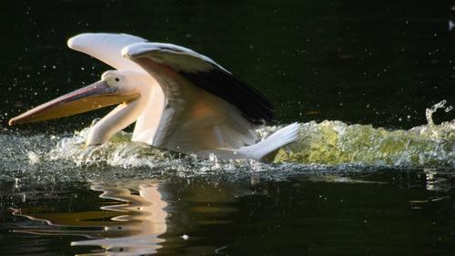 Pelican in the lake Stock Photo 07