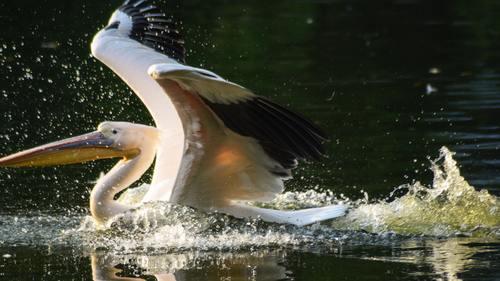 Pelican in the lake Stock Photo 08