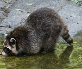 Raccoon drinking water Stock Photo 01