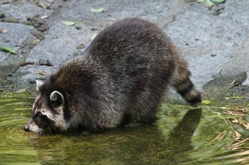 Raccoon drinking water Stock Photo 01