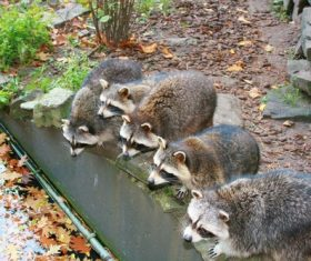 Raccoon drinking water Stock Photo 02