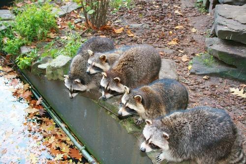 Raccoon drinking water Stock Photo 02