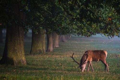 Reindeer grazing outdoors Stock Photo