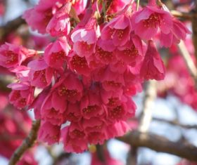 Stock Photo Pink Cherry Blossom Macro Photography
