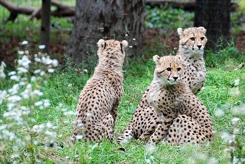 Three baby cheetah Stock Photo
