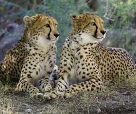 Two cheetahs resting on the ground Stock Photo