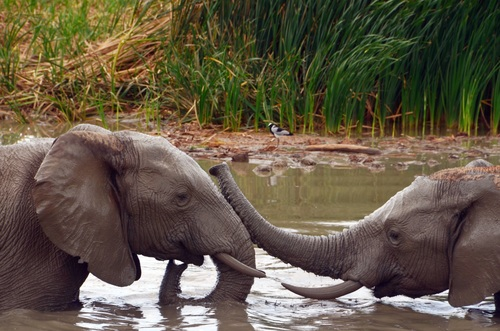 Two elephants in the river pond Stock Photo