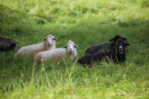White and black sheep on the grass Stock Photo