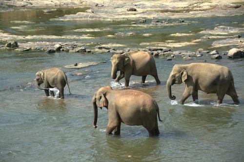 Wild elephant crossing the river Stock Photo