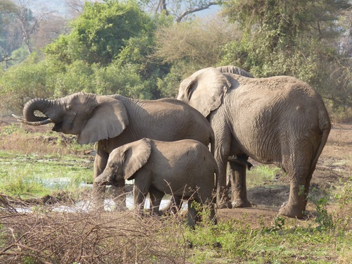 Wild elephant migration Stock Photo 01
