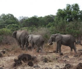 Wild elephant migration Stock Photo 02
