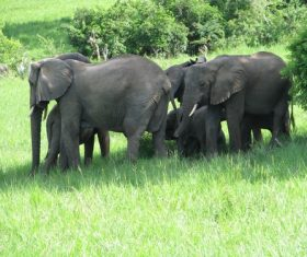 Wild elephant migration Stock Photo 03
