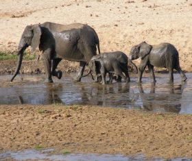 Wild elephant migration Stock Photo 04
