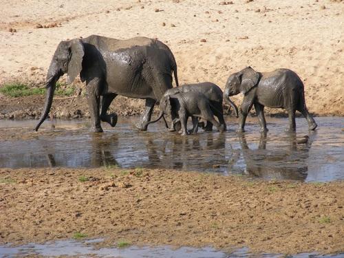 Wild elephant migration Stock Photo 04