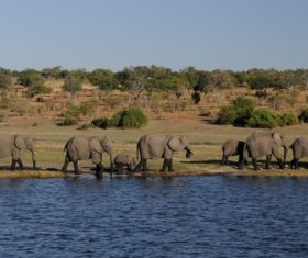 Wild elephant migration Stock Photo 05