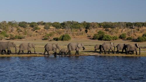 Wild elephant migration Stock Photo 05