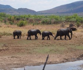 Wild elephant migration Stock Photo 06