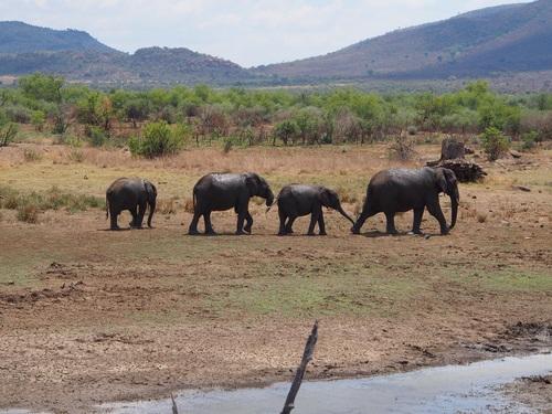 Wild elephant migration Stock Photo 06