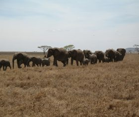 Wild elephant migration Stock Photo 07