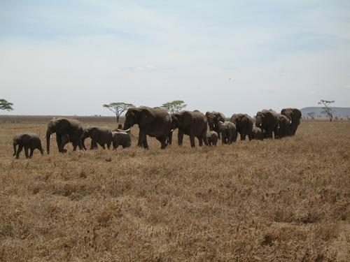 Wild elephant migration Stock Photo 07