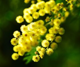 Yellow mimosa flowers Stock Photo 01