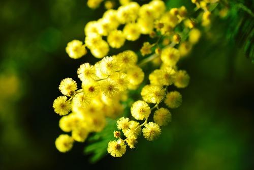 Yellow mimosa flowers Stock Photo 01