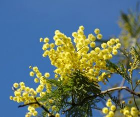 Yellow mimosa flowers Stock Photo 02