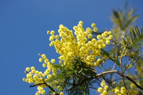 Yellow mimosa flowers Stock Photo 02