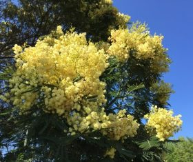 Yellow mimosa flowers Stock Photo 03