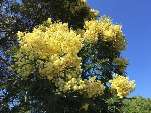 Yellow mimosa flowers Stock Photo 03