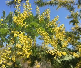 Yellow mimosa flowers Stock Photo 04