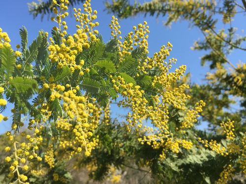 Yellow mimosa flowers Stock Photo 04