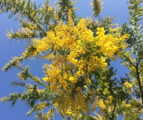 Yellow mimosa flowers Stock Photo 05