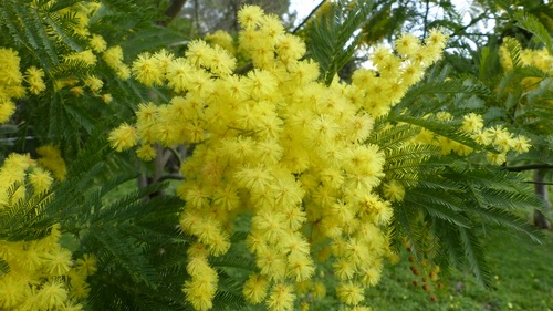 Yellow mimosa flowers Stock Photo 07