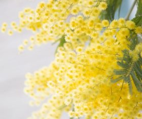 Yellow mimosa flowers Stock Photo 08