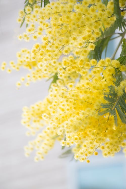 Yellow mimosa flowers Stock Photo 08 free download