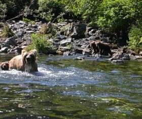 a brown bear family playing in the stream Stock Photo