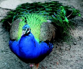 a colorful peacock Stock Photo 05