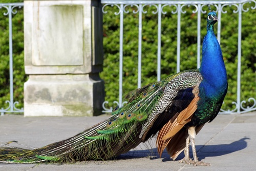 a colorful peacock Stock Photo 07