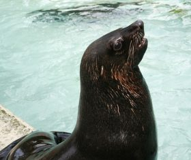 a lovely sea lions Stock Photo 06