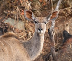 African antelope Stock Photo 01