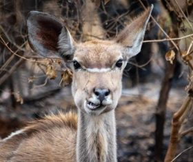 African antelope Stock Photo 03