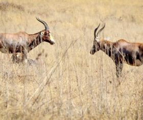African antelope Stock Photo 04
