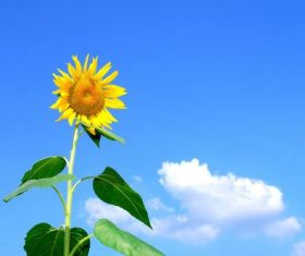 Blue sky with white clouds and sunflowers close-up Stock Photo