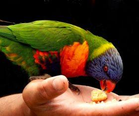 Feeding rainbow parrot Stock Photo