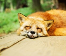 Fox sleeping Stock Photo