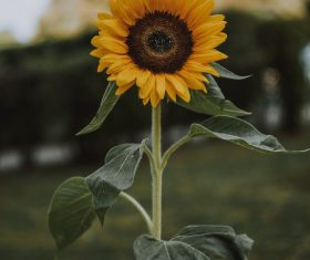 Holding a sunflower Stock Photo
